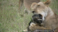 Lion cub learning how to hunt Stock Footage