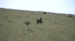 Lion hunting wildebeest Stock Footage
