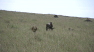 Stock Video Footage of Lion hunting wildebeest