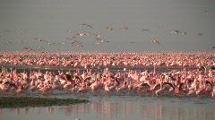 Pink Flamingos flying Stock Footage