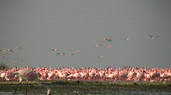 Flamingos flying Stock Footage