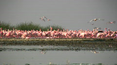 Flamingos flying Stock Footage
