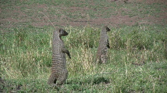 Mongoose standing up Stock Footage