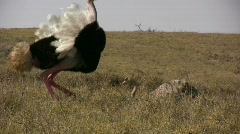 Ostrich mating Stock Footage