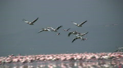 Pelicans and flamingos Stock Footage