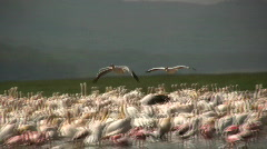 Pelicans flying above flamingos.2 Stock Footage