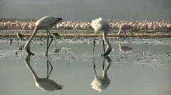 Reflections of flamingos low angle 1 Stock Footage