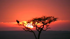 Sunset with a bird on cacia tree Stock Footage