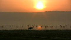 Sunset with flamingos and hyena Stock Footage