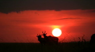 Sunset with animals in the background Stock Footage