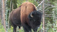 Buffalo in snow Stock Footage