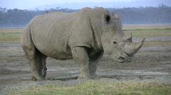 White rhino on heat. Stock Footage