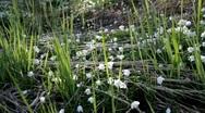 Wood anemone (Anemone nemorosa) in spring Stock Footage