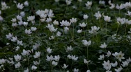 Wood anemone (Anemone nemorosa) in spring Stock Footage
