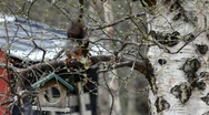 Stock Video Footage of Red squirrel sitting on a birch tree