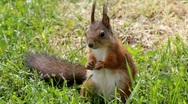 Stock Video Footage of Red squirrel in a garden