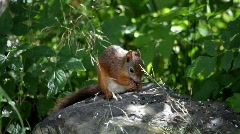 Red squirrel in a garden Stock Footage