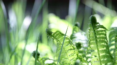 Close-up of fern leaves moving softly with a gentle spring breeze.  Stock Footage