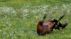Horse rolling on it's back on a flowering meadow. Stock Footage