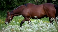 A brown horse walks over a flowering meadow in spring. Stock Footage