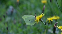 Butterfly Common Brimstone sitting on a flower  Stock Footage