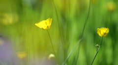 Buttercup flowers (Ranunculus) are quivering in the wind. Stock Footage