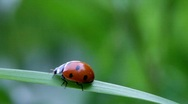 Stock Video Footage of Seven-spotted ladybug scuttling up and down on a blade of grass