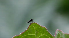 A small fly sits on a leaf, lifts up and alights again. Stock Footage