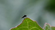 Stock Video Footage of A small fly sits on a leaf, lifts up and alights again.