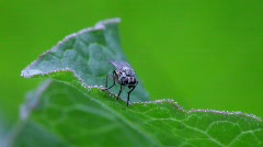 A fly sits on a leaf, then it suddenly flies away. Stock Footage
