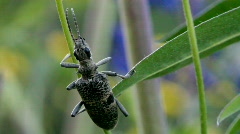 Longhorn beetle sleeping on a lupine stem Stock Footage