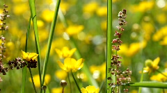 Sorrel (Rumex acetosa) flowering in a summer meadow. Stock Footage