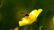 Stock Video Footage of A fly sucks nectar from a buttercup.