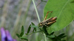 Grasshopper feeding from a leaf Stock Footage