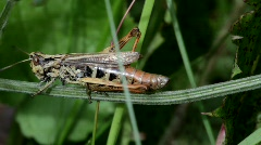 Grasshopper walks along a grass blade in a meadow. Stock Footage