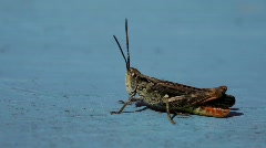 A grasshopper sits clittering on a blue wooden bank. Stock Footage
