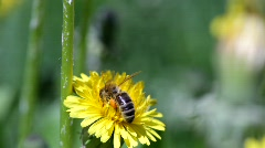 A honey bee gathers pollen from a dandelion flower. Stock Footage