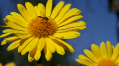 A hover-fly sips nectar from a blossoming Leopard's Bane (Doronicum orientale) Stock Footage