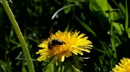 Stock Video Footage of A honey bee gathers pollen from a dandelion flower.
