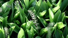 Leaves of lily of the valley and horsetail  Stock Footage