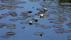 Water lilies on a lake on a windy day. Stock Footage