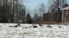Canada geese feeding on a snowy field Stock Footage