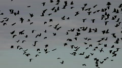 Jackdaws flying  Stock Footage