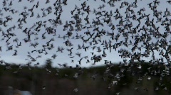 A flock of wood pigeons (Columba palumbus) flies up from a field  Stock Footage