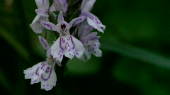 A Common spotted orchid flowering in a forest in Sweden. Stock Footage