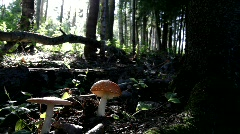 Mushroom fly Amanita growing in a forest. Stock Footage