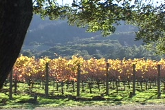 A vineyard grows in Napa Valley, California. - stock footage
