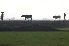 Villagers and farmers walk in silhouette near an Indian rice paddy. Stock Footage