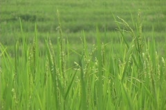 Rice paddies grow on terraces in India. Stock Footage
