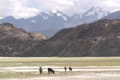 Wild donkeys graze in front of the Himalayas. Stock Footage